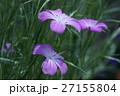 麦仙翁 ムギセンノウ 花言葉は「自然の美」 27155804