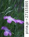 麦仙翁 ムギセンノウ 花の写真 27155805