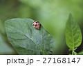 紅娘 てんとうむし てんとう虫の写真 27168147
