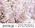 桜 ソメイヨシノ 花の写真 27172551