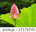 開花前の蓮の花 27174745