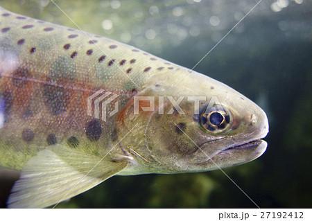 渓流の澄んだ水の中を優雅に泳ぐ虹色の模様が美しいニジマスRainbow trout 27192412