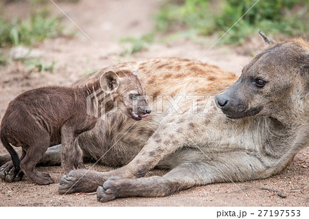 Baby Spotted hyena with his mother. 27197553