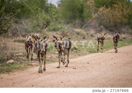 African wild dogs walking towards the camera. 27197666