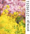 菜の花と河津桜 27199251