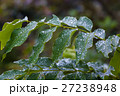 葉 水分 雨の写真 27238948