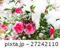 雪積もる椿の花 27242110