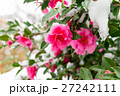雪積もる椿の花 27242111