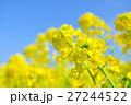 菜の花と青空 27244522