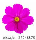 Cosmos pink flowers 27248375