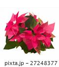 garden with poinsettia flowers or christmas star 27248377
