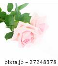 Pink blooming roses 27248378