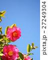 冬の花・青空にサザンカ6 27249304