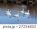 白鳥 野鳥 鳥の写真 27254832