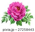 花 牡丹 水彩のイラスト 27258443