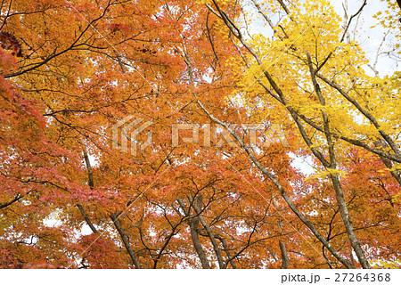 山中湖畔のオレンジ色と黄色のカエデの紅葉 27264368