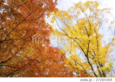 山中湖畔のオレンジ色と黄色のカエデの紅葉 27264369