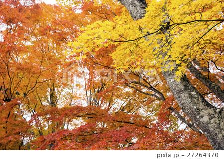 山中湖畔のオレンジ色と黄色のカエデの紅葉 27264370