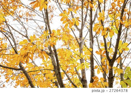トチノキの黄葉と枝 27264378
