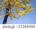 黄葉 銀杏 いちょうの写真 27264394