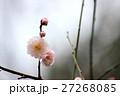 豊後梅 梅 花の写真 27268085