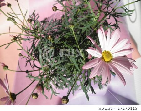 マーガレットの花で春気分。の写真素材 [27270115] - PIXTA
