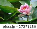 pink lotus 27271130