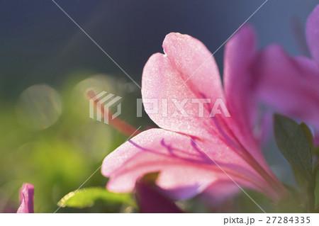 朝日を浴びて朝露が輝くサツキの花びら 27284335