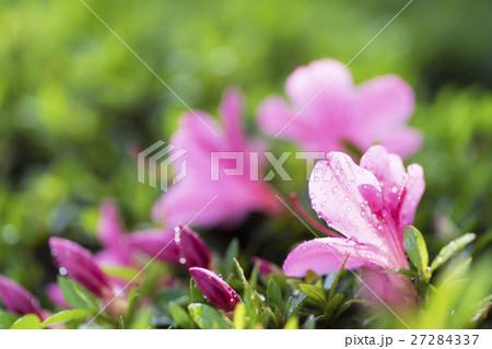 朝日を浴びて朝露が輝くサツキの花びら 27284337