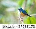 明治神宮の野鳥 ルリビタキ 27285173