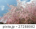 しだれ桜 27288082