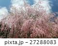 しだれ桜 27288083