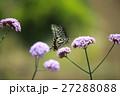 アゲハチョウ 27288088
