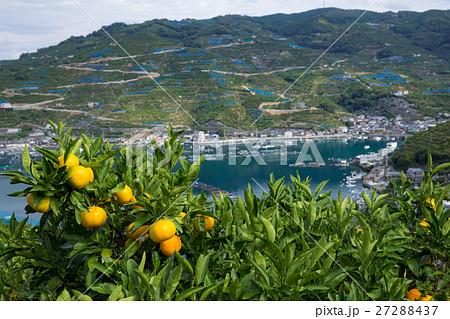 みかんの段々畑と海(愛媛県八幡浜川上) 27288437