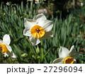 冬の初めから春にかけて咲くスイセンの花 27296094