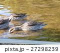餌を啄ばむ稲毛海浜公園のオナガガモ 27298239