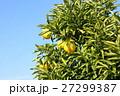 柚子 27299387