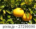 柚子の実 27299390