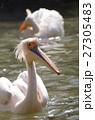 モモイロペリカン ペリカン 動物の写真 27305483