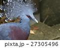 扇鳩 鳩 鳥の写真 27305496
