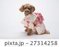 トイプードル 犬 小型犬の写真 27314258