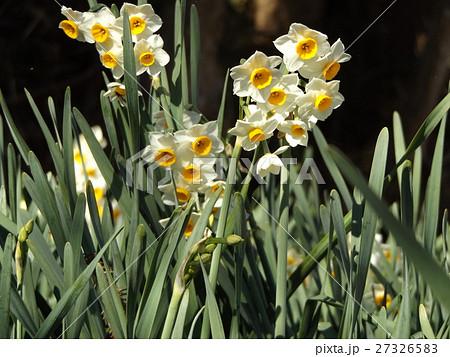 早春の花スイセンは十二月に咲き始めています 27326583