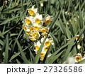 早春の花スイセンは十二月に咲き始めています 27326586