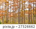 晩秋 カラマツ林 黄葉の写真 27326662