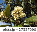 花の無い時期貴重な花はビワの白い花 27327098