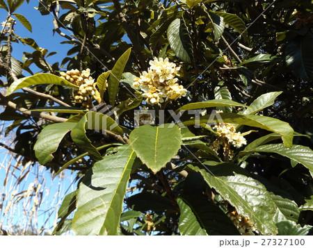 花の無い時期貴重な花はビワの白い花 27327100