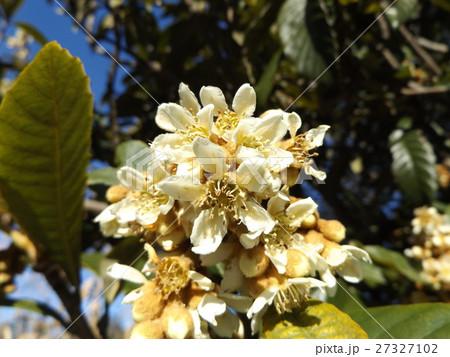 花の無い時期貴重な花はビワの白い花 27327102