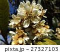 花の無い時期貴重な花はビワの白い花 27327103