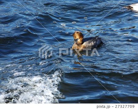 泳ぎながら毛づくろいをするヒドリガモのメス」 27327709