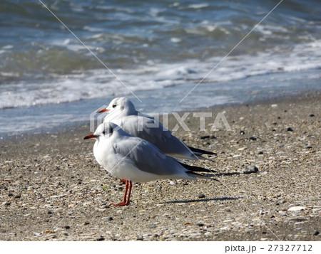 検見川浜の砂浜に降り立ったユリカモメ 27327712